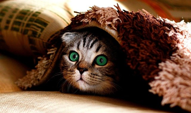 Kitten peeking out from under a blanket